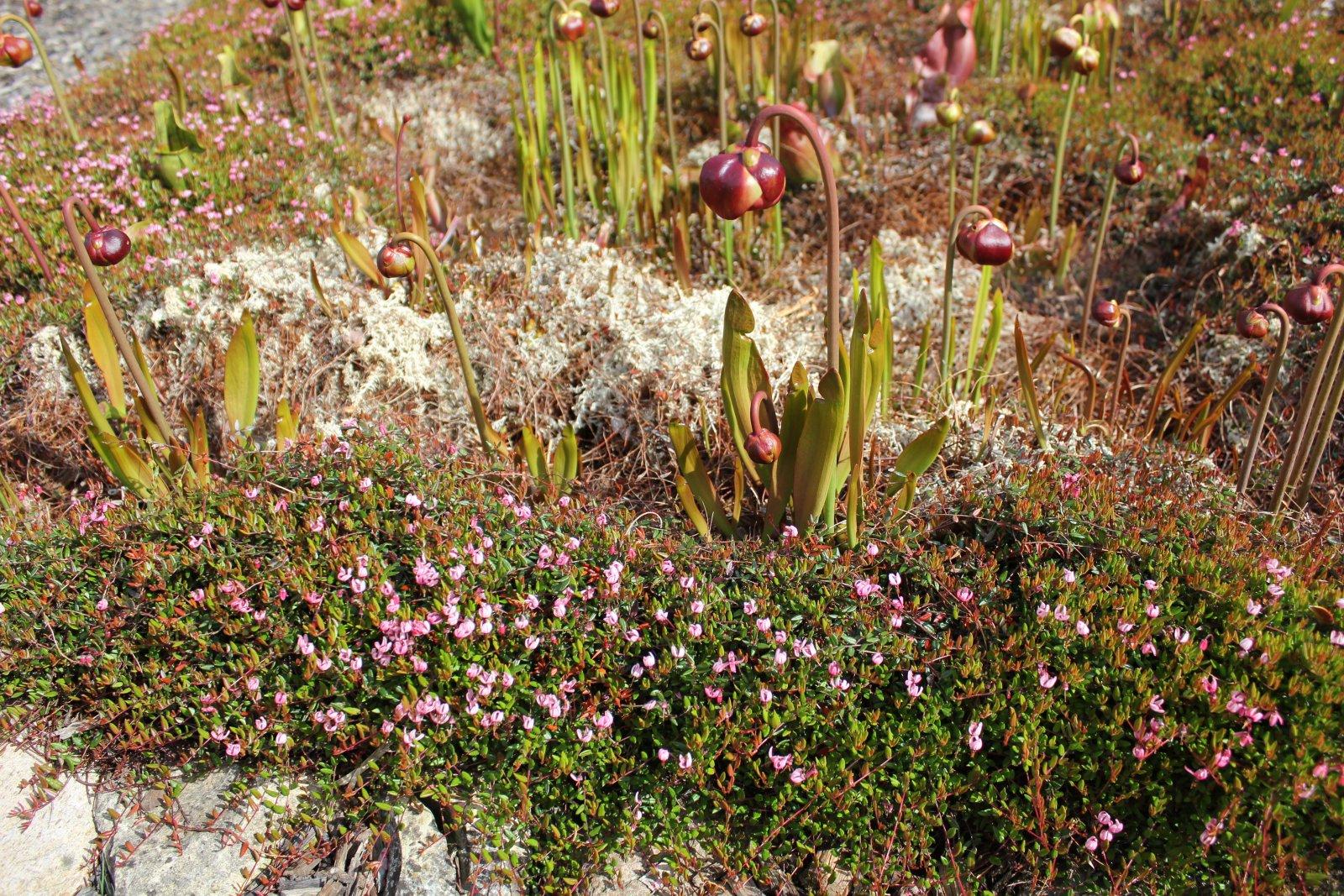 Moosbeere mit Sarracenia