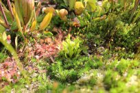 Dionaea muscipula neben Drosera rotundifolia