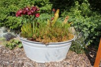 Kübel mit Sarracenia und Moor-Orchidee