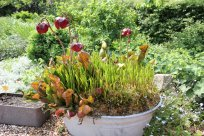 Eine Wanne mit Sarras und einer Orchideenart