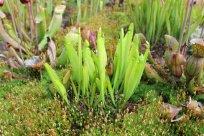 Frische Triebe einer Sarracenia