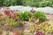 Sarracenia-Blüten