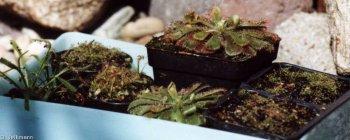 Drosera aliciae mit Drosera capensis