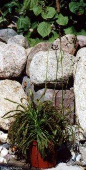 Drosera capensis mit Blüte