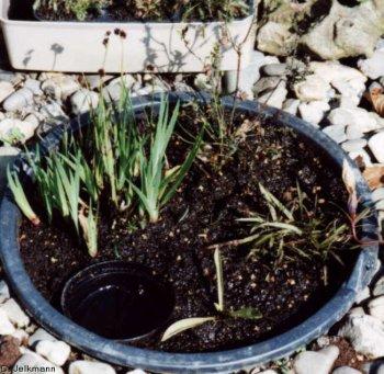 Moorpflanzen im Eimer