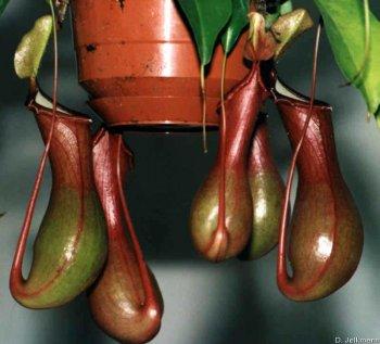 Kannen einer Nepenthes alata