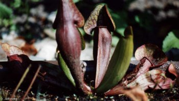 Sarracenia hybride Maier