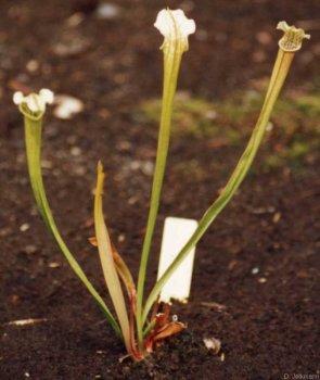 Sarracenia rubra