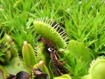 Fallen einer Dionaea muscipula 2