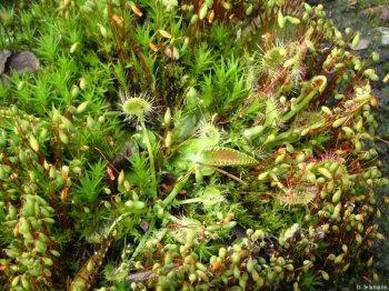 Venusfliegenfalle und Drosera rotundifolia