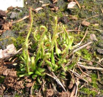 Drosera filliformis