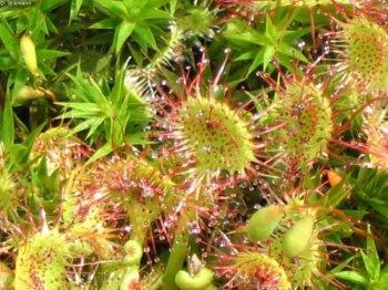 Nahansicht einer Drosera rotundifolia 1