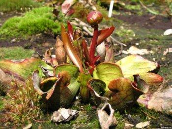 Sarracenia purpurea mit Blüte