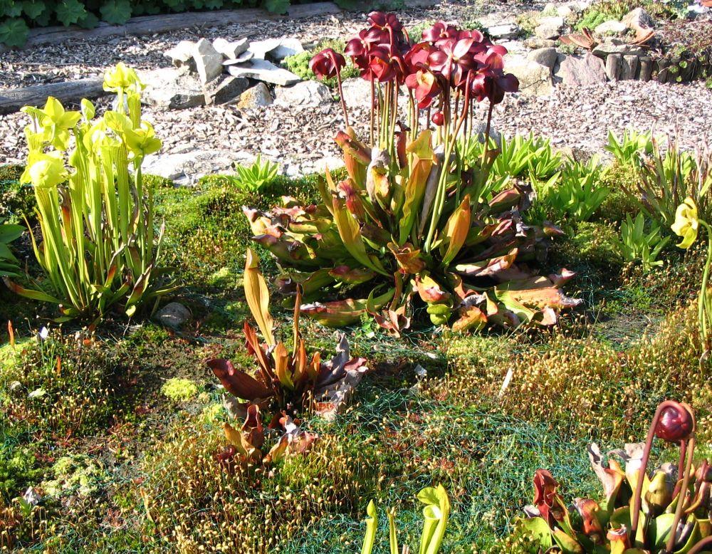 Sarracenia flava und Maier-Hybride