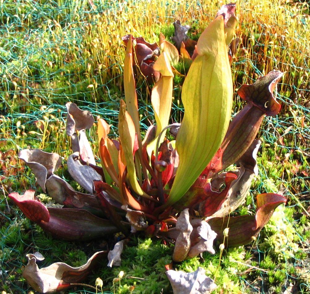 Sarracenia hybride