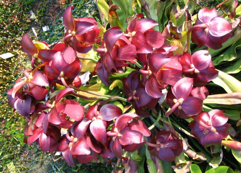 Blüten der Sarracenia hybride von Maier