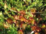 Drosera rotundifolia im Moos