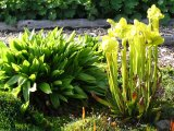 Moornelke neben Sarracenia flava