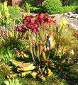 Sarracenia hybride von Maier 1