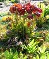 Sarracenia hybride von Maier 2