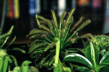 Drosera capensis im Terrarium