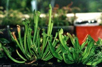 Sarracenia hybride im Terrarium