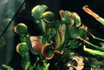 Sarracenia purpurea im Terrarium